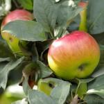 La pomme, aliment bruleur de graisse